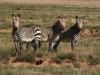 img_7434-mountain-zebra-np