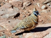 img_4488-spnifex-pigeon
