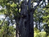 dsc07829-waipoua-forest-kauri