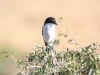 img_2363-fiscal-flycatcher
