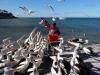 dsc07013-kangaroo-island-kingscote-pelican-feeding