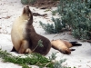 img_4803-kangaroo-island-seal-bay