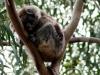 img_4832-kangaroo-island-koala-walk