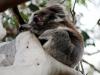 img_4838-kangaroo-island-koala-walk