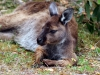 img_4845-kangaroo-island-koala-walk
