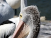 img_4865-kangaroo-island-kingscote-pelican-feeding