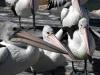 img_4866-kangaroo-island-kingscote-pelican-feeding