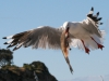 img_4870-kangaroo-island-kingscote-pelican-feeding