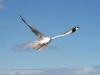 img_4874-kangaroo-island-kingscote-pelican-feeding
