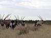 dsc03199-central-kalahari-oryx