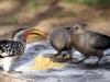img_4366-khama-rhino-sanctuary-yellow-hornbill-go-away-bird