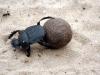 img_4385-khama-rhino-sanctuary-dung-beetle