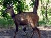 dsc02768-moremi-gr-bushbock