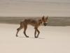 img_4926-fraser-island-dingo