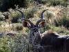 img_2268-mountain-zebra-np-kudu