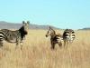 img_2311-mountain-zebra-np-mountain-zebra