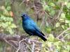 img_2777-starling