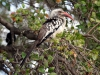 img_2780-yellow-billed-hornbill