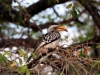 img_2782-yellow-billed-hornbill
