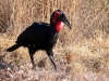 img_2869-southern-ground-hornbill