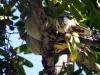 img_2875-green-pigeon