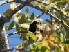 img_2894-scarlet-chested-sunbird