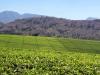 dsc01540-mt-mulanje-mit-tea-estate