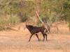 img_2959-gorongosa-saebelantilope
