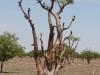dsc03387-etosha-np-moringa-baum