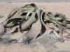 dsc03552-welwitschia-drive