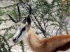 img_5445-etosha-np-springbok