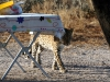 img_0411-ckgr-leopard