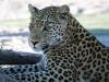 img_0416-ckgr-leopard