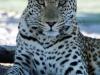 img_0420-ckgr-leopard