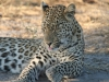 img_0427-ckgr-leopard