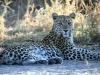 img_0439-ckgr-leopard