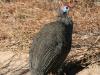 img_0452-ckgr-guinea-fowl