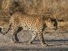 img_6492-ckgr-leopard