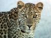 img_6512-ckgr-leopard
