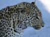 img_6513-ckgr-leopard