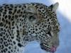 img_6514-ckgr-leopard