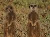 img_5262-meerkats-oudtshoorn