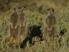 img_5270-meerkats-oudtshoorn