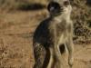img_5277-meerkats-oudtshoorn