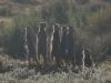 img_5291-meerkats-oudtshoorn