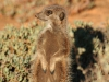 img_9455-meerkats-oudtshoorn