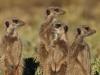 img_9477-meerkats-oudtshoorn