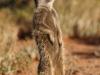 img_9484-meerkats-oudtshoorn
